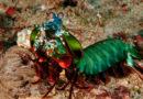 La crevette mante paon et ses supers pouvoirs