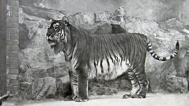 Le plus gros chat du monde ressuscité