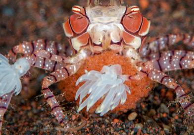 Le crabe aux pinces de fleurs