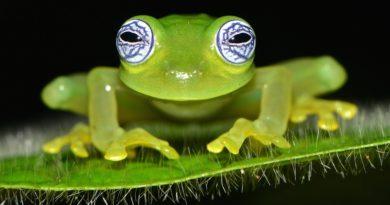 Une grenouille de verre