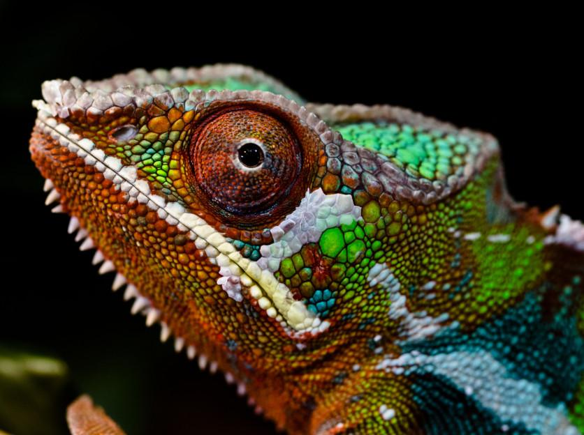 Comment le caméléon change-t-il de couleur