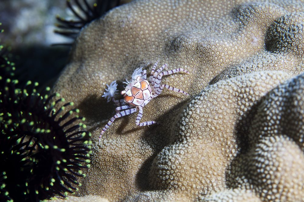 crabe boxer